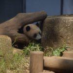 上野動物園でシャンシャンを並ばずに確実に見る方法