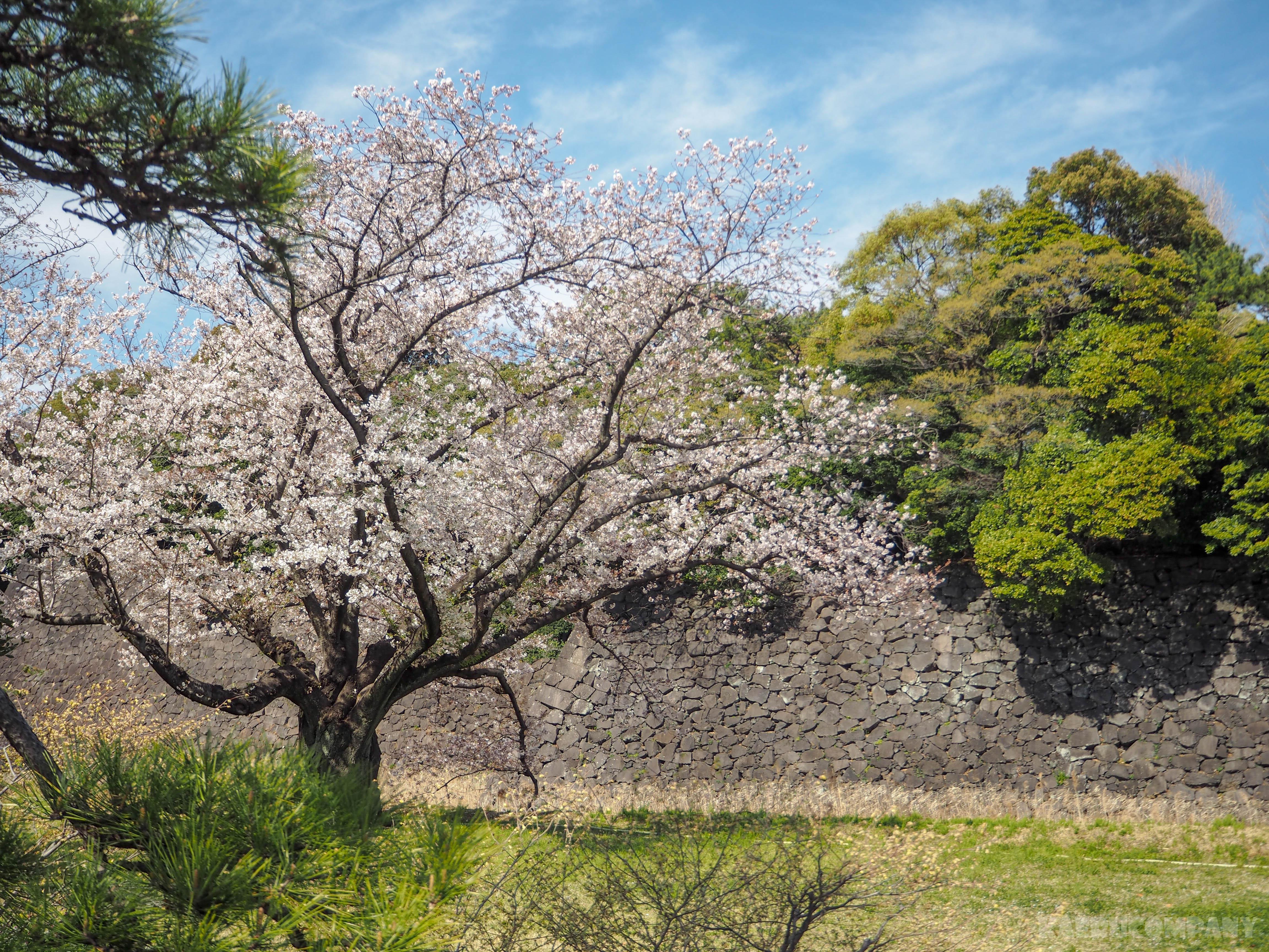 皇居のお花見の歩き方!2019平成最後の皇居乾通りの桜を見に行ってきた。